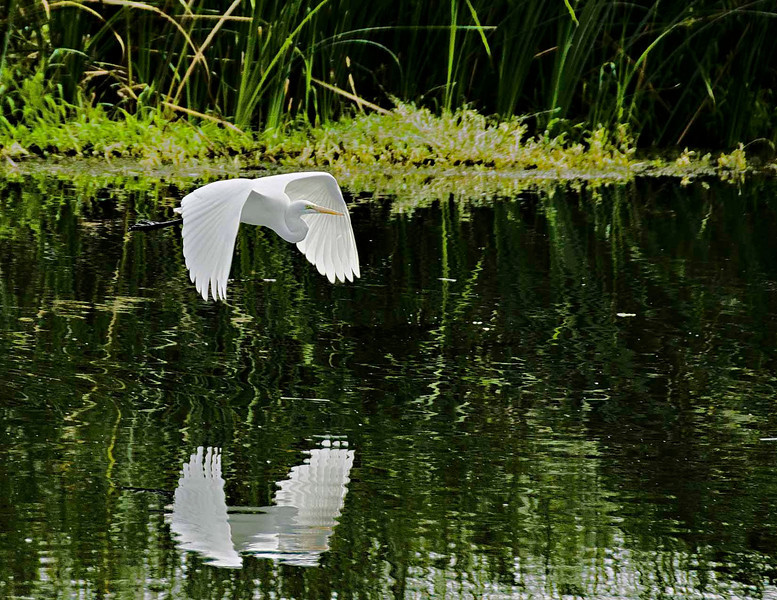 Egret Reflection, Estuary, San Jose Del Cabo, Mexico