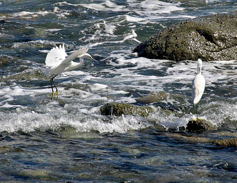 Egrets playing in the surf in San Jose Del Cabo.