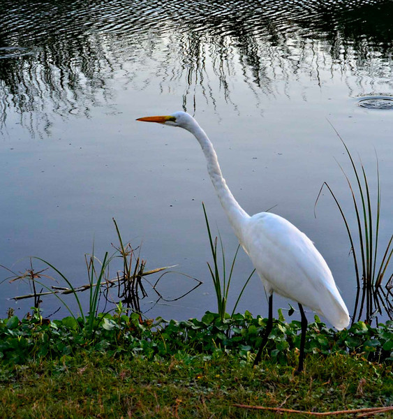 Egret along with shore