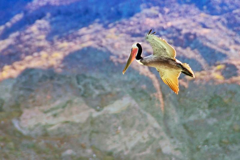 Pelican in flight, La Paz, Mexico