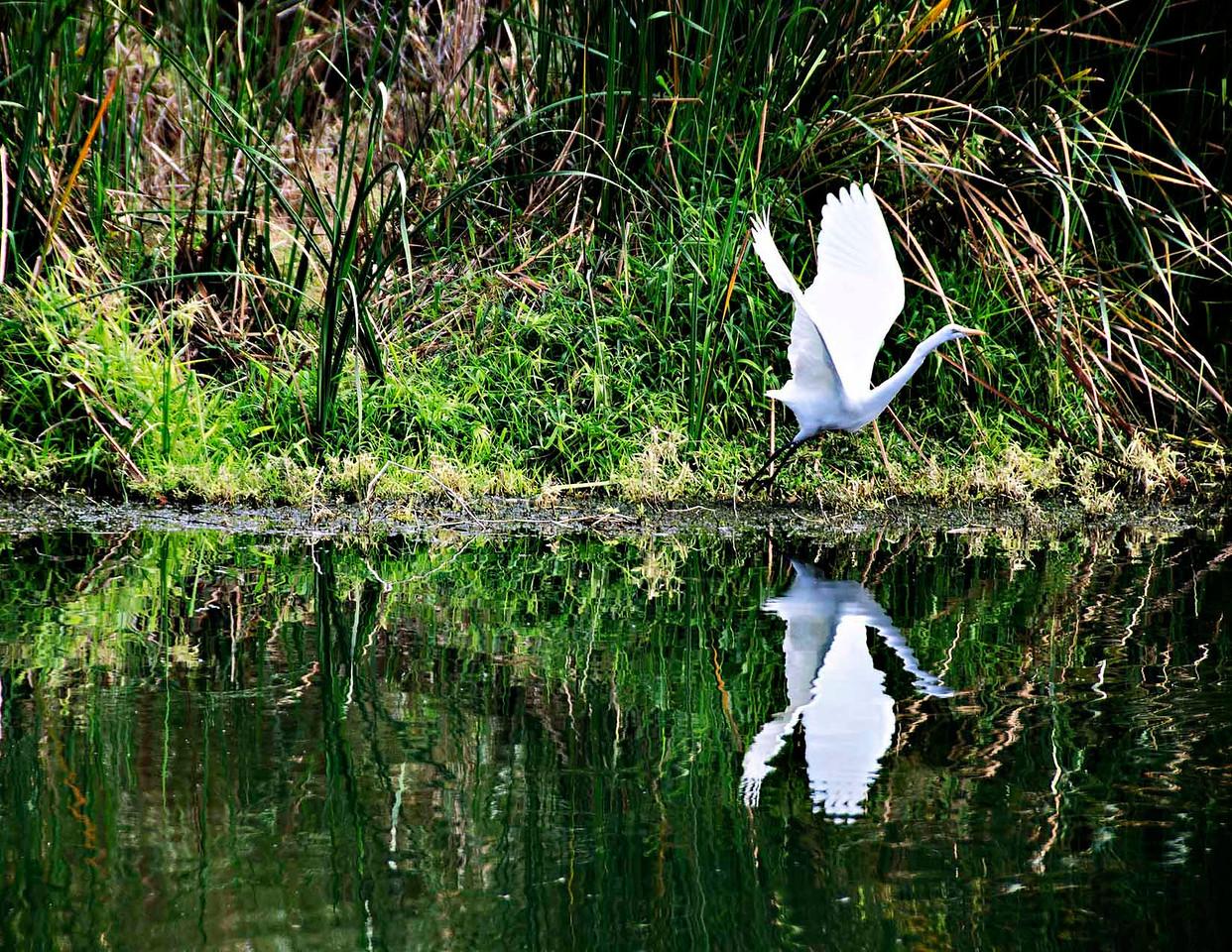 Egret taking off in the estuary of San Jose Del Cabo.
