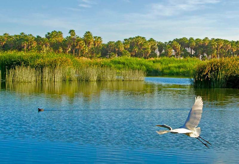 Egret and Duck, Estuary, San Jose Del Cabo, Mexico
