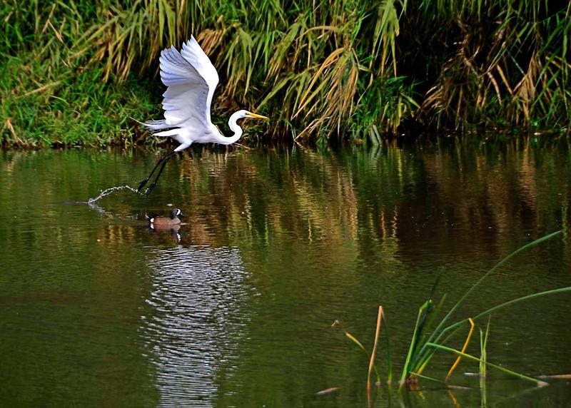 Egret taking off, San Jose Del Cabo