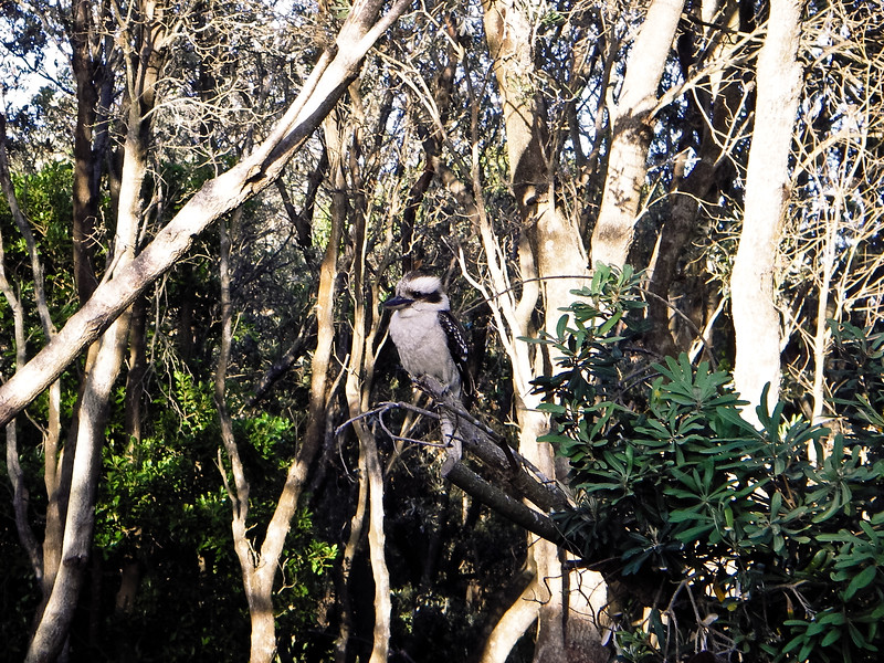 Kookaburra sitting in an old gum tree