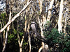 Kookaburra sitting in an old gum tree