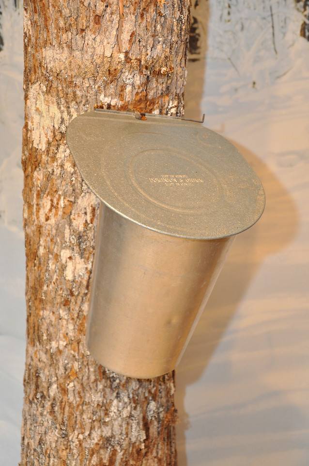 Maple Syrup gathering bucket on a tree