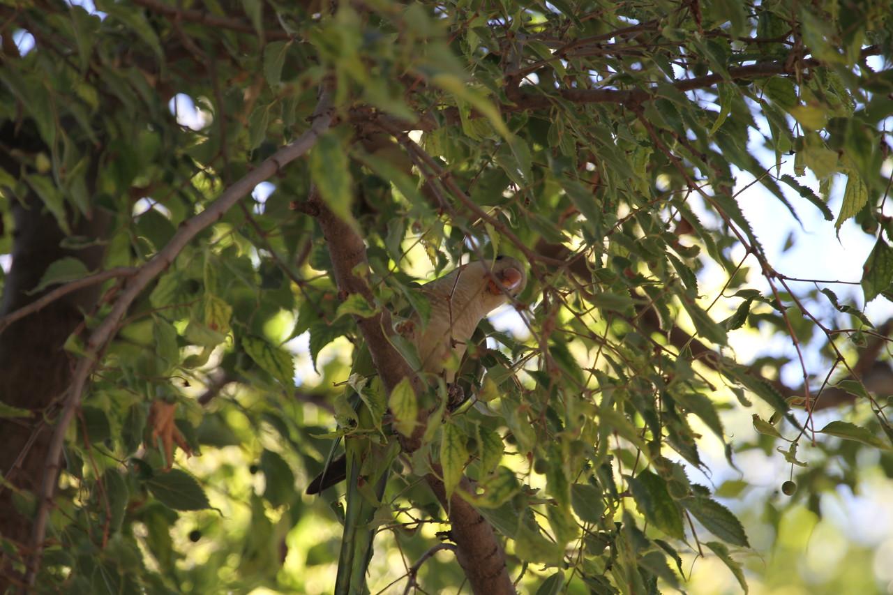 Not quite a pidgeon, but a wild parrot