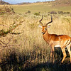 Impala Buck standing gaurd