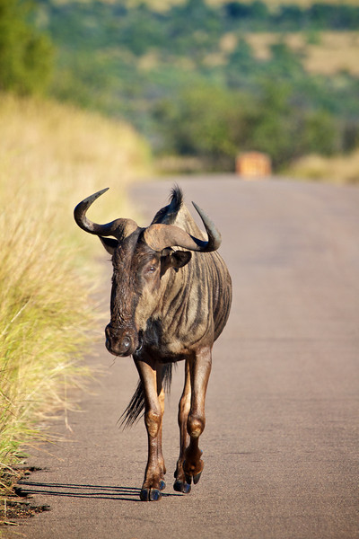 Wildebeast coming down the road