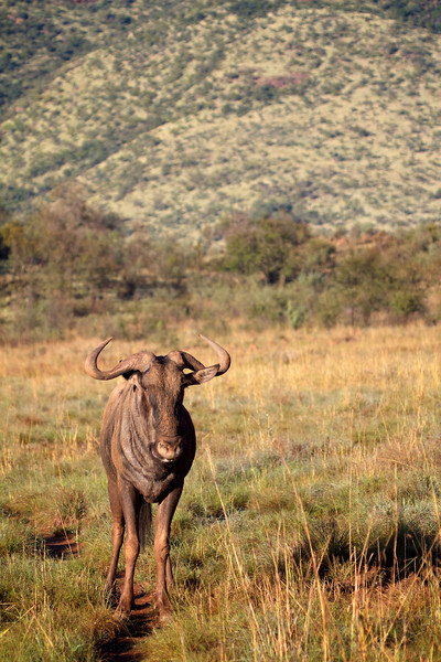 Loan Wildebeast male, usually they are in packs, but a few males are solitary and gaurd over a sizable area of land
