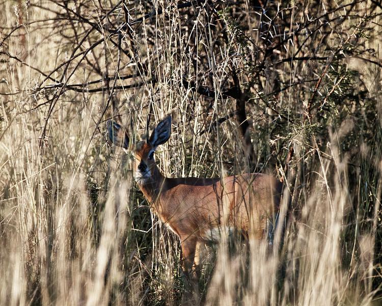 Steembock male
