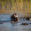 Hippos Wrestling