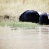 Hippo rears