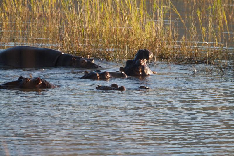 More Hippos