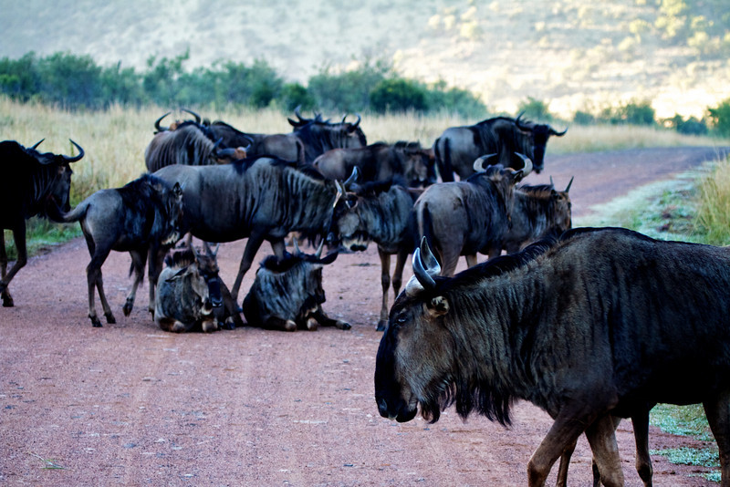 Wildebeast blocking our road