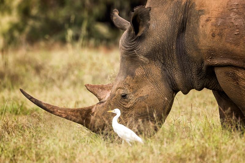 Walking with the Rhino