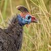 Helmeted Guineau Fowl