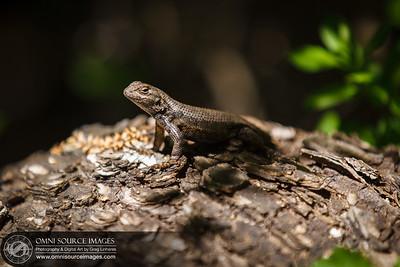 049_Pinnacles_Lizard