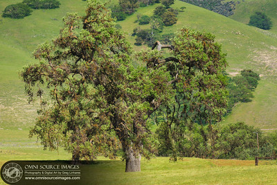 Old Oak Tree on Pinnacles HWY 25