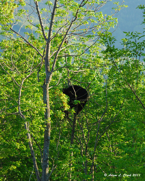 A sow (female) black bear and her 3 cubs (2 below and 1 above) that we saw on the way home