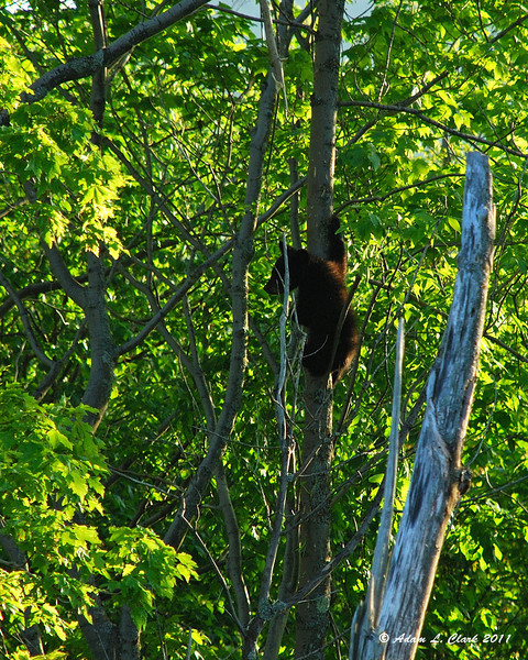 One of the cubs climbing up the tree (he was pretty quick)