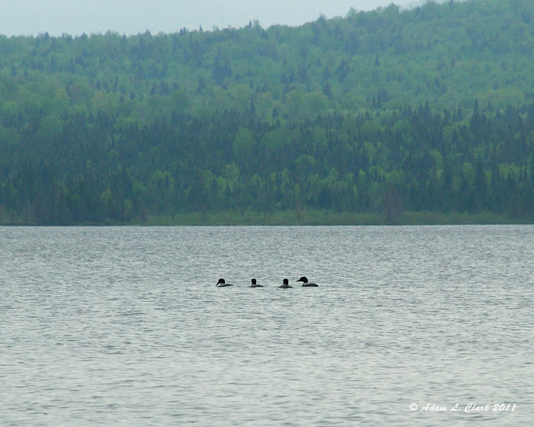 These four loons seemed to be having a party or something