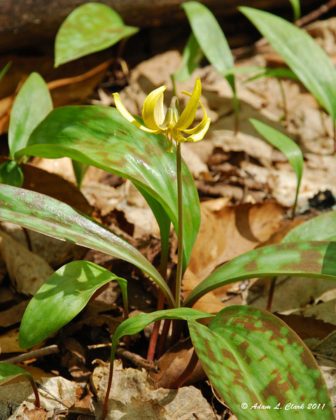 Yellow trout lilly