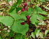 Purple trilium