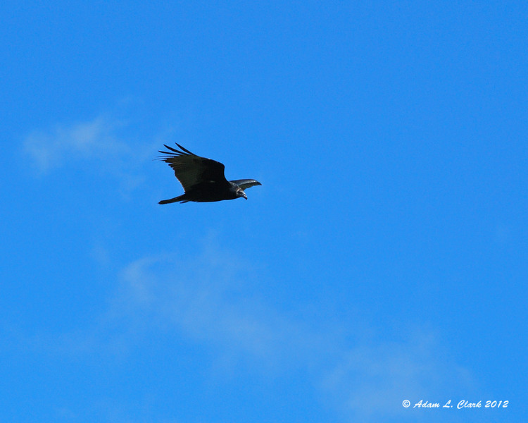 All of a sudden, we saw 7 vultures coming in right towards us in the fire tower on the summit of Mt. Magalloway