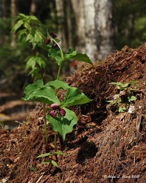 Purple Trillium growing in the dirt built up over a large rock