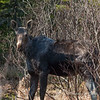 A moose we saw near the camp.  The lack of hair is a combination of losing the winter coat for the summer coat and from where ticks have been attached