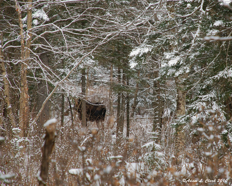 A cow moose my uncle and I came across while walking in the woods behind the camp