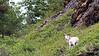 Dall Sheep, Alaska