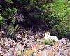 Dall  Sheep in Alaska