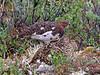 Ptarmigan Male, Hen and chick in Denali, Alaska
