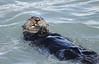 Otter eating Clam in Resurrection Bay Alaska