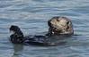 Otter in Resurrection Bay, Alaska
