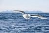 Gull flying over Cooks Bay, Alaska