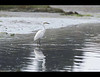 This Snowy Egret was looking for lunch at Bodega Bay on the California coast north of San Francisco.
