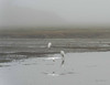 Great Egrets seem to shiver under the shroud of morning fog.  It is 12 degrees C.