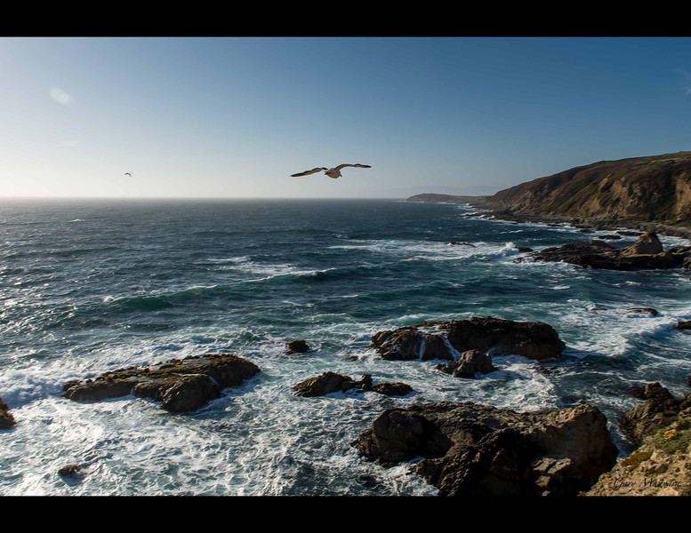 The afternoon wind in July at Bodega Head can hit gale force strength.  The shore birds ride the wind in dramatic fashion.