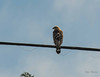 A Red-shouldered Hawk saw  the deer before we did.  That looks like fibre optic cable strewn around the telephone line.