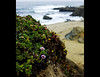 The flowers at Bodega Head were just past their prime on August first but were still beautiful.