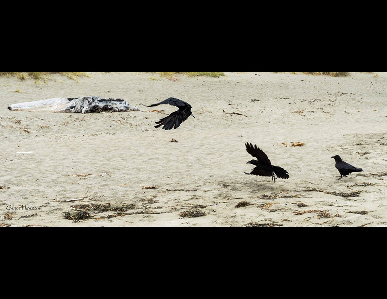 There is an air of menace to crows but they are just the rubbish collectors on the beach and they make less racket than the gulls.