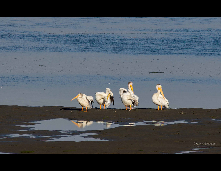 American White Pelicans preening in the morning sun.