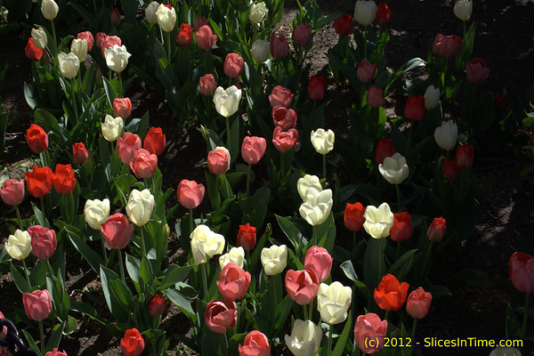 Tulips at City Hall Park, New York, NY - April 7, 2012
