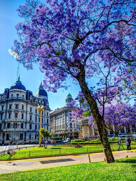 Jacarandas bloom in Plaza Mayor