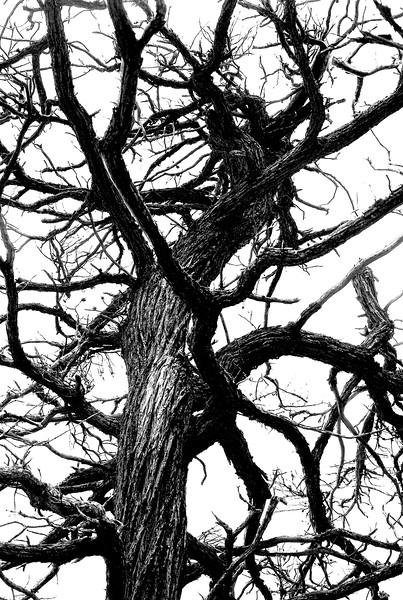 Tree in Monterey