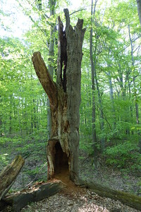 This hollowed out tree was huge. The hole in the bottom was as tall as Diane.