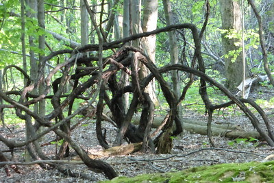 Vines intertwined with the trees.